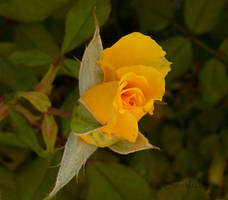 Yellow Rose of Texas by creativemikey