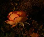 The Flower I Dream Of