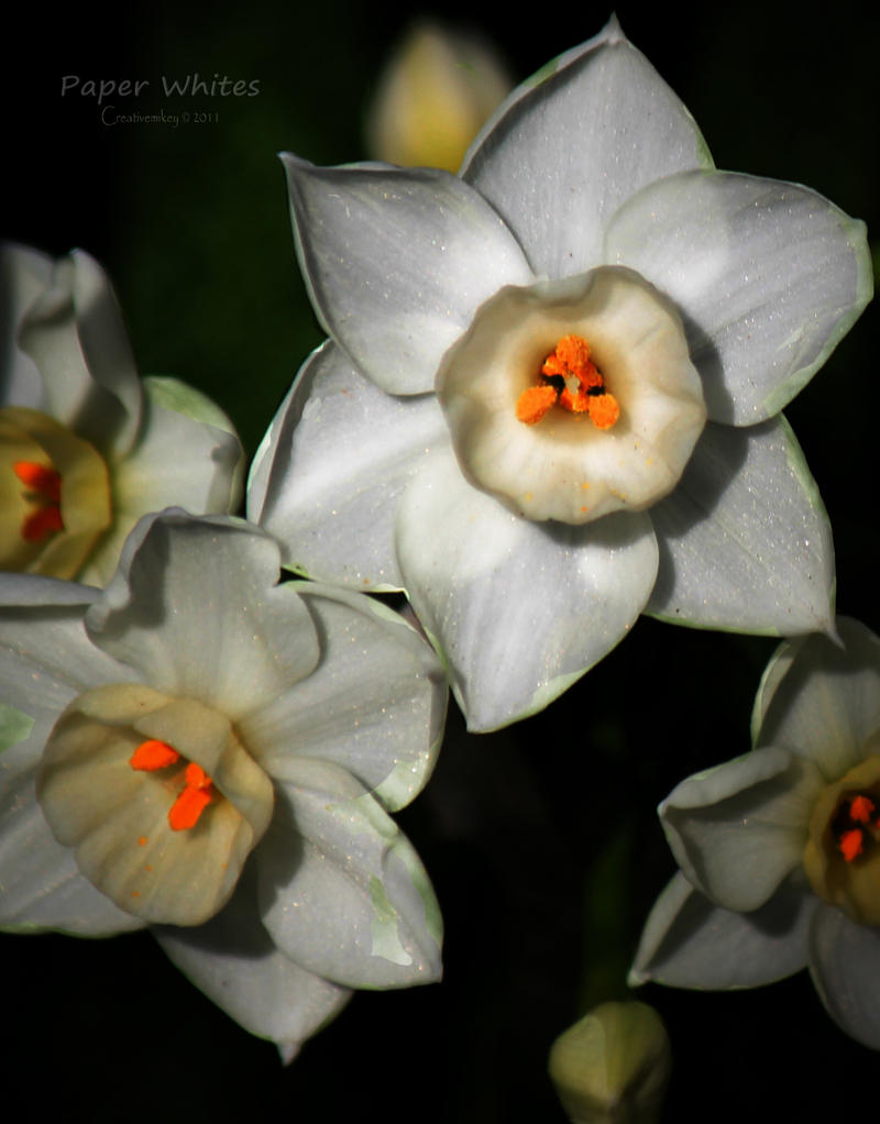 CVECE - Page 14 Paper_whites_by_creativemikey-d38ifsm