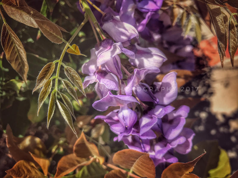 Wisteria Dreams By Creativemikey On Deviantart