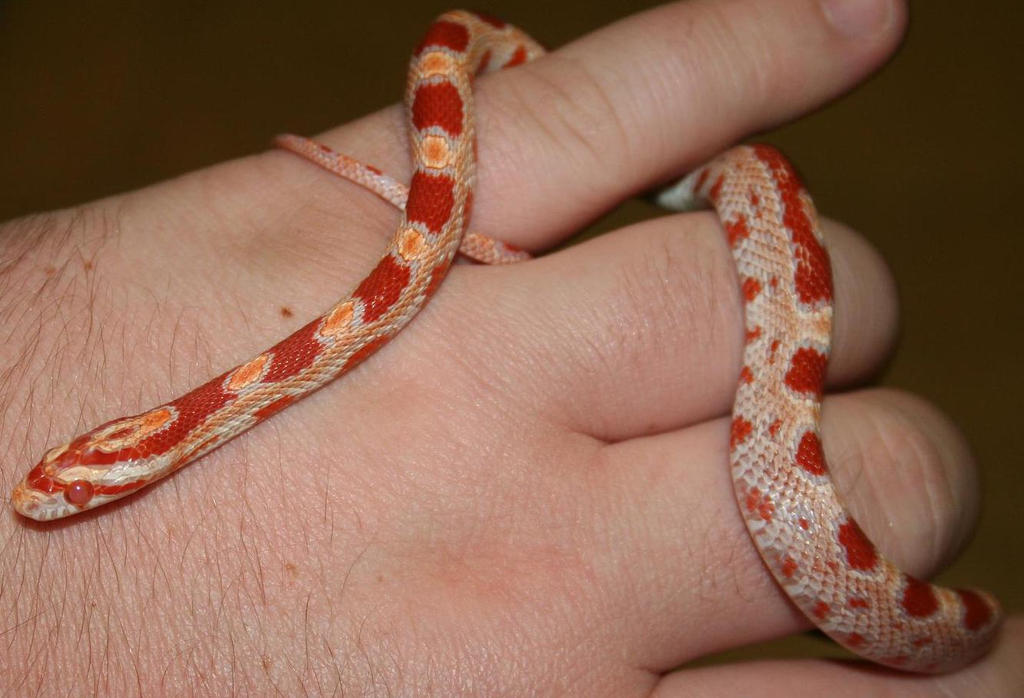 Albino Corn Snake Albino Corn Snake Shiro by