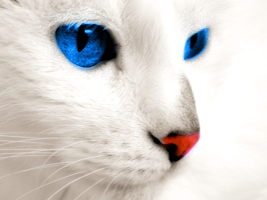 White Cat Blue Eyes Breed - Cats Types