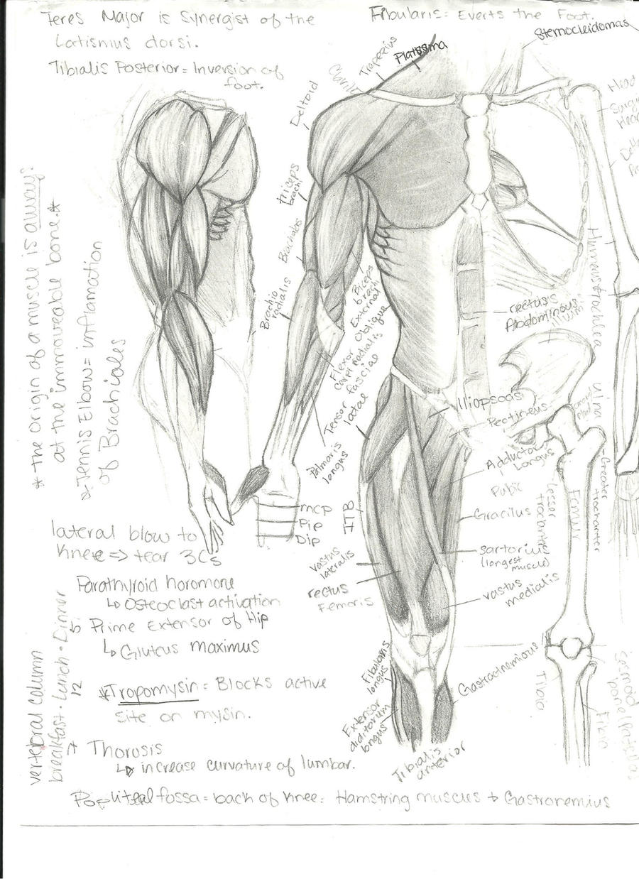 Anatomy Physiology Notes by Nepetia on DeviantArt