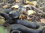 Black Rat Snake Stock 4