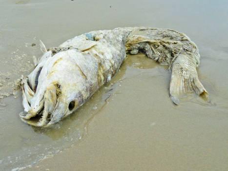 Dead Fish Stock