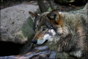 European Wolf 9 by Canisography