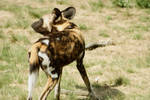 African Wild Dog 5