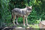 European Wolf 250