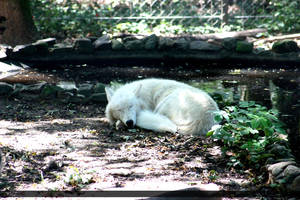 Arctic Wolf 9 by Canisography