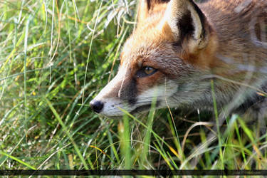 Red Fox 9 by Canisography