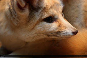Fennec Fox 1 by Canisography
