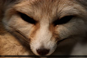 Fennec Fox 2 by Canisography
