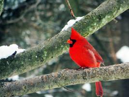 Cardinal 6 by xL4n1x