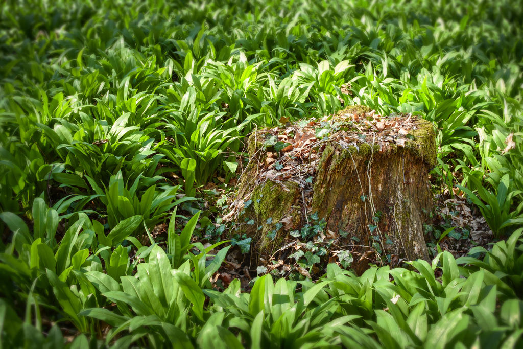 Stump in wild garlic by andrejbujna