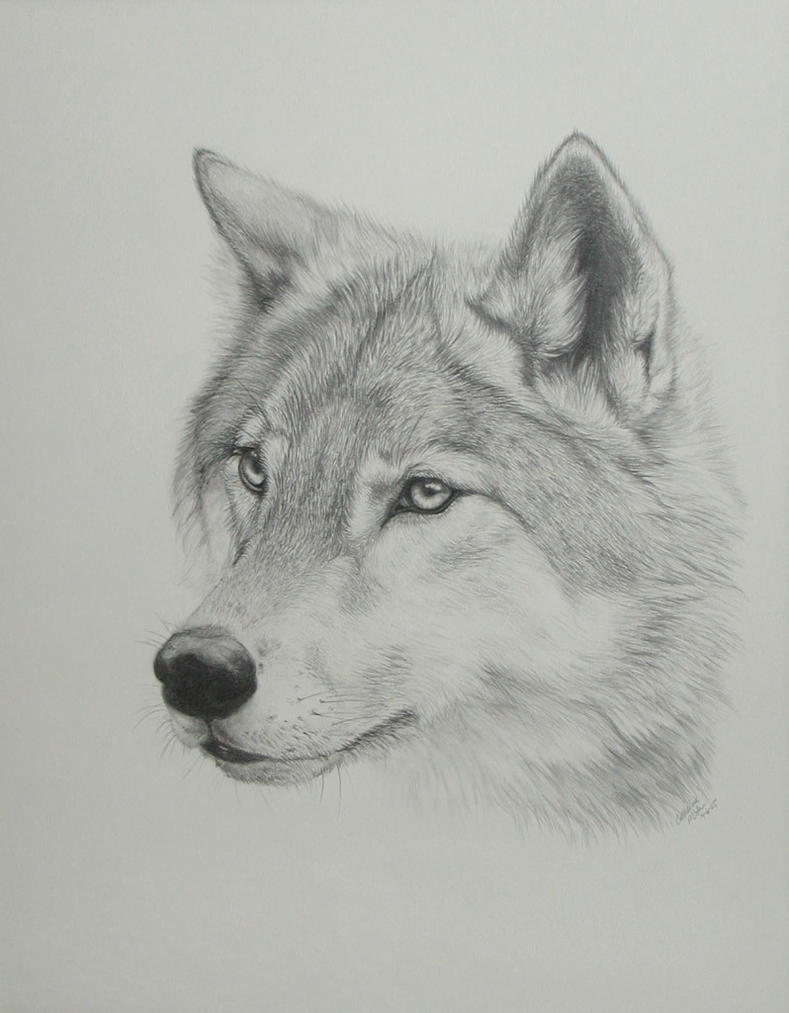 Wolf drawing by pandaz333