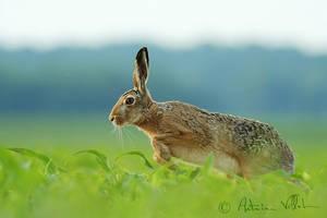 Run, hare, run