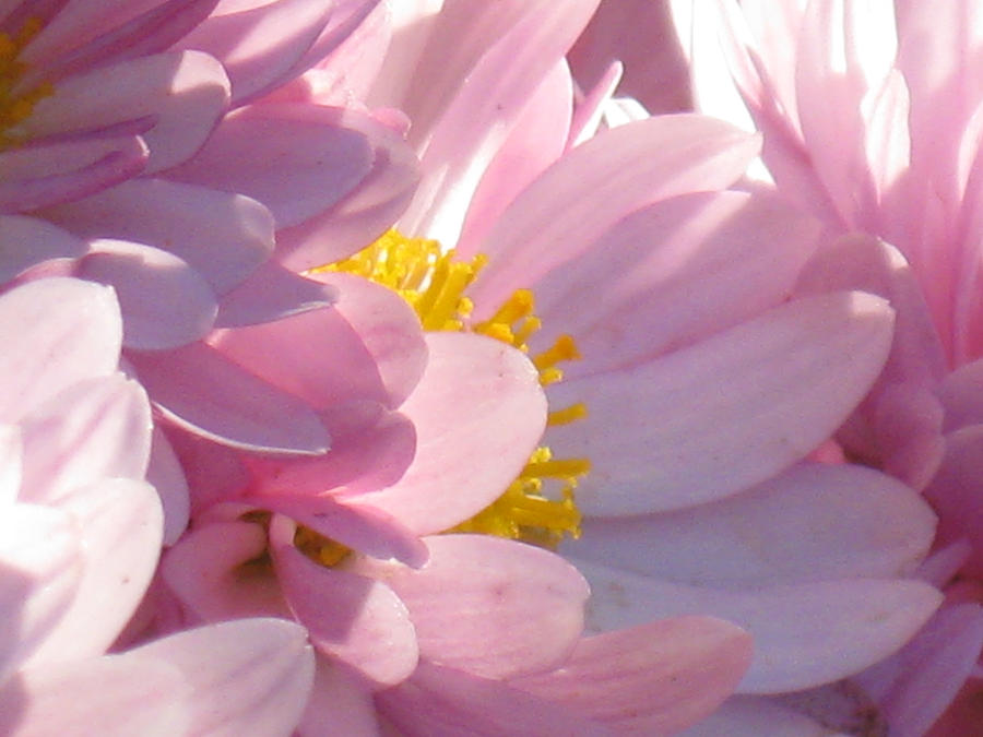 Pretty Pink Flower wallpaper > Pretty Pink Flower Papel de parede > Pretty Pink Flower Fondos