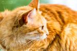Orange Cat II