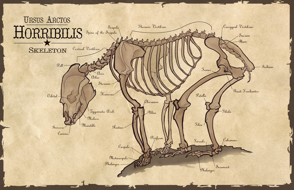 Grizzly bear anatomy 5152487 - follow4more.info