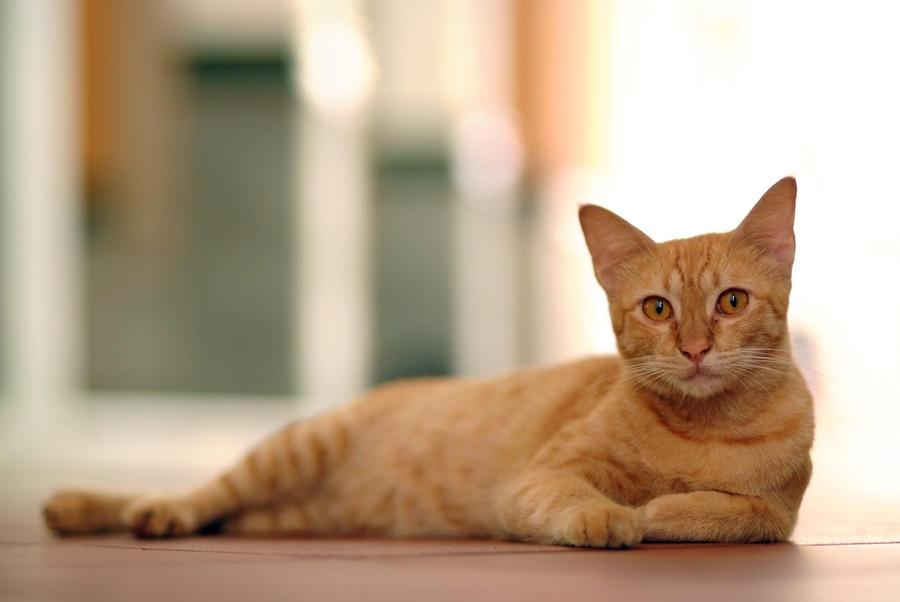 Orange Turkish Angora Orange Cat by angora-cat