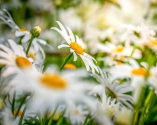 Oxeye daisy by 1Niceguy1