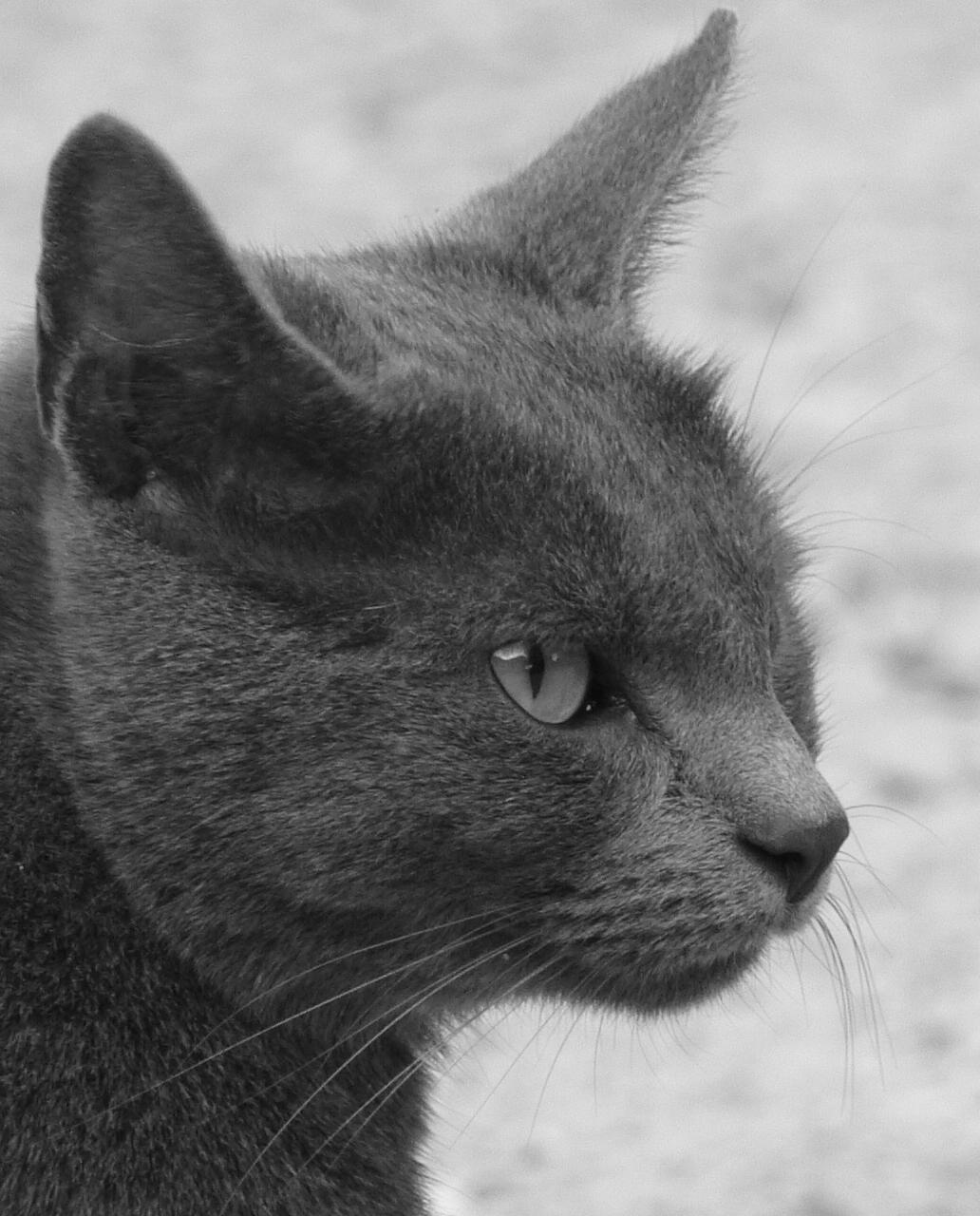 Fabulous Chat gris en noir et blanc by ChadHalen on DeviantArt JY65