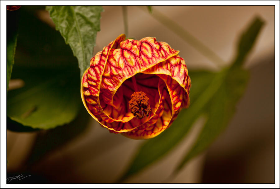 chinese lantern flowers  flower, Beautiful flower