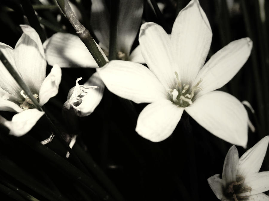 Beauty In Black And White By CristyThegreat