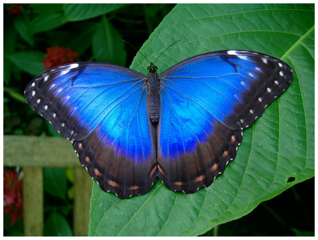 Blue Butterfly By Andybuck On Deviantart