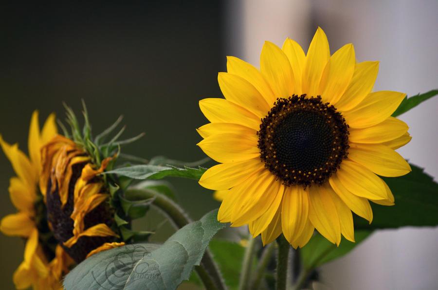 Sunflower #0561 by Shayele82
