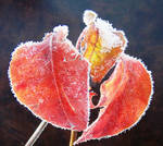 Three Frosty Leaves