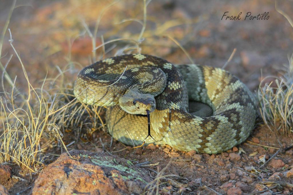 Black Tailed Rattlesnake (Crotalus ornatus) by achillesbeast