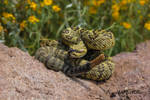 True Black Tailed Rattlesnake (Crotalus molossus)