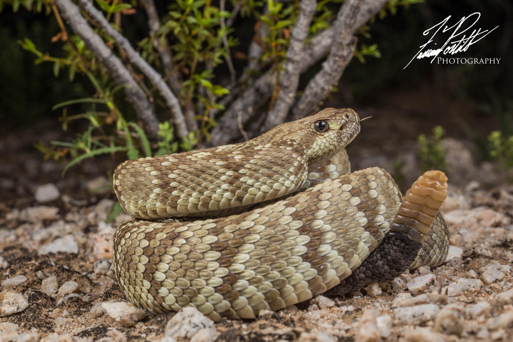 Black-tailed Rattlesnake by achillesbeast