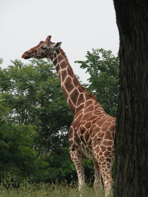 Giraffe by zannen-na