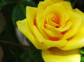 Yellow Rose II by Saston