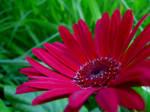 Asteraceae Gerbera