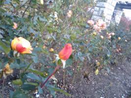 Rose Garden 2 by Wyldsoul