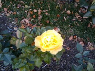 Rose Garden 12 by Wyldsoul