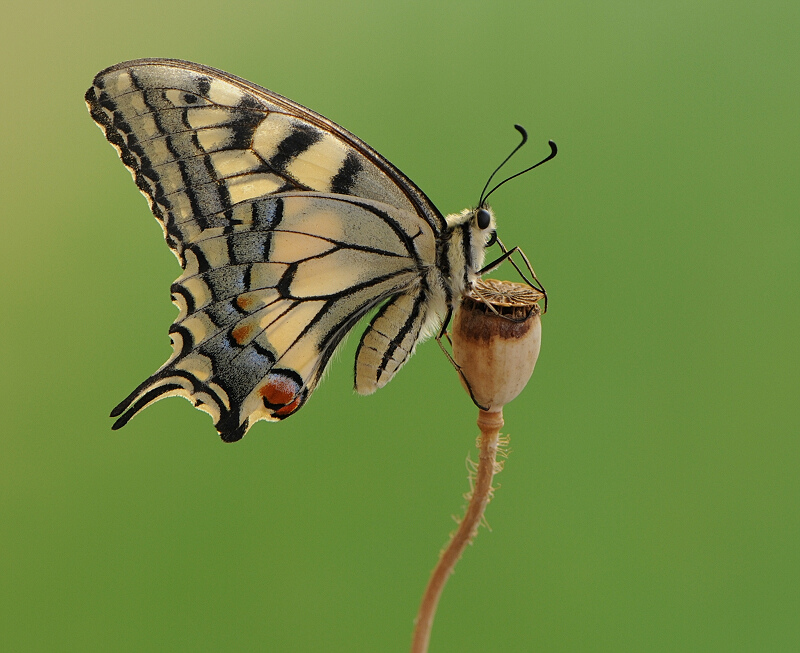 Papilio machaon by *dralik
