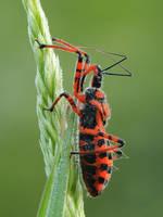 Hemiptera by dralik