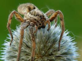 Spider by dralik