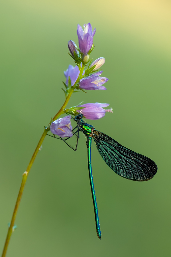 Virgo Calopteryx by dralik