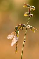 Aeshna affinis by dralik