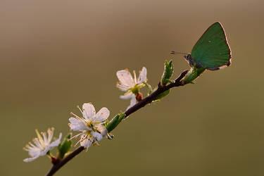 Callophrys rubi by dralik