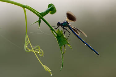 Calopteryx splendens by dralik