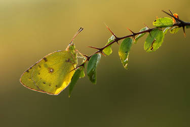 Colias hyale by dralik