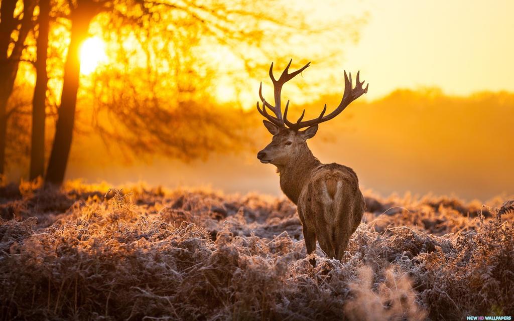 Deer sunset   Don Lichterman Sunset Recordings by donlichtermansunsetr