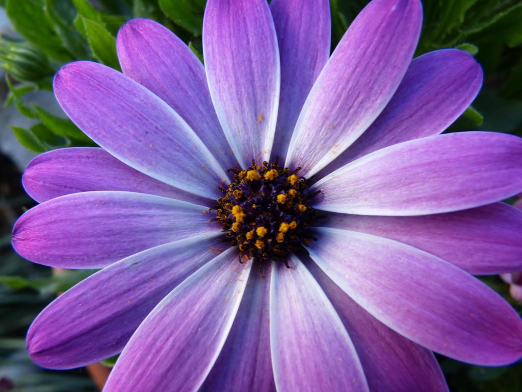 GroB Blume Lila   Maak Het U Gemakkelijk Om Uw Huis Te Versieren Met Onze Ideeën  Voor Fotoverzamelingen, Zoals Meubeldesign, Kamerinrichting, Enz.