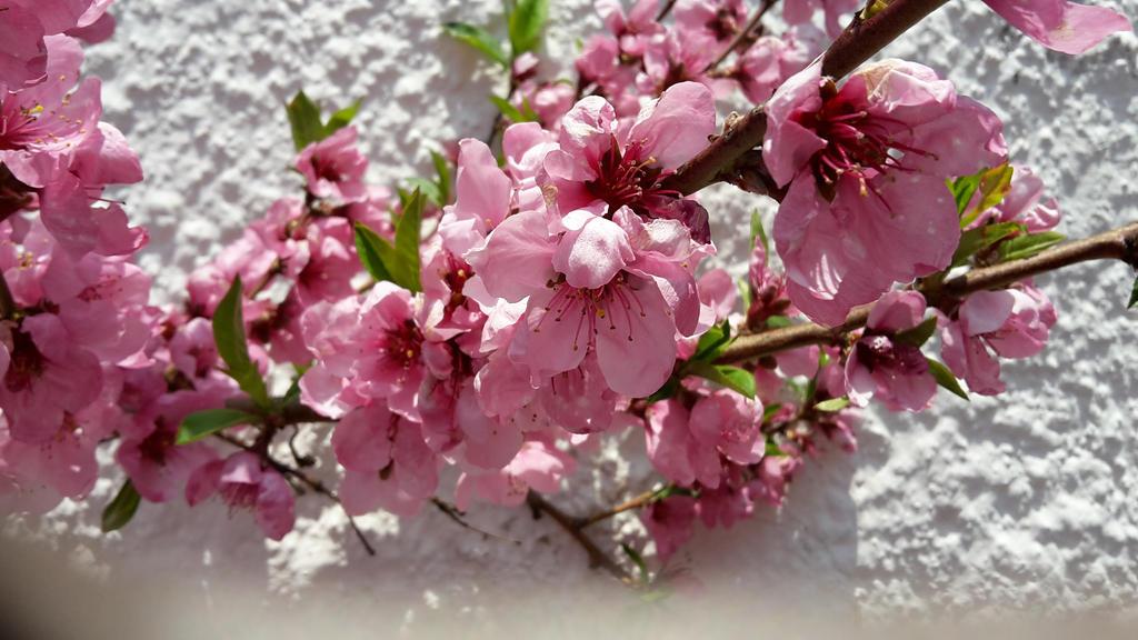 peachflowers  by Sharee1
